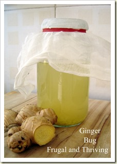 Ginger Bug for making Ginger Beer