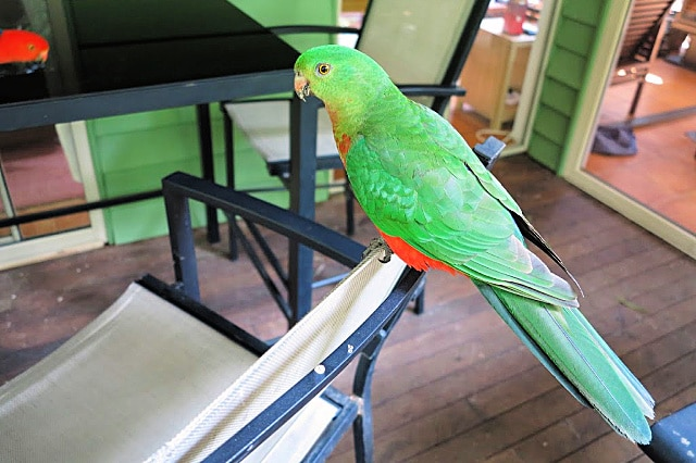 friendly female king parrot