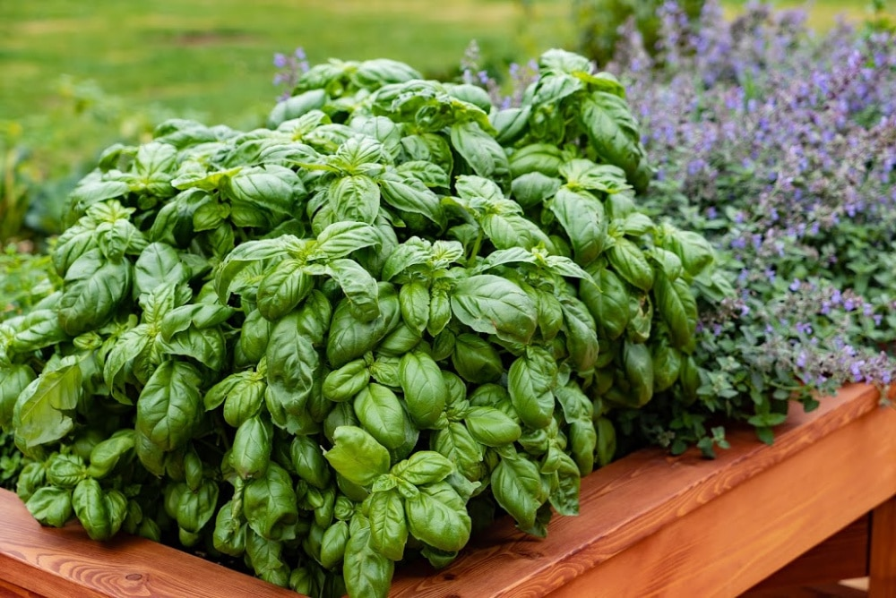 best herbs to grow - basil