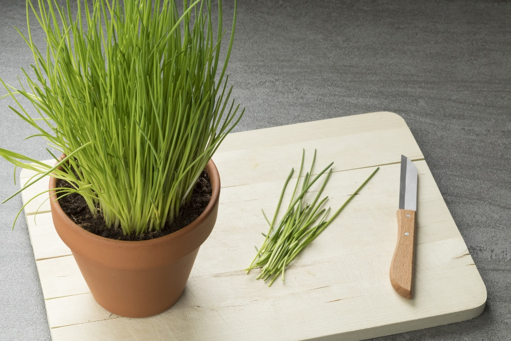 best herbs to grow - chives