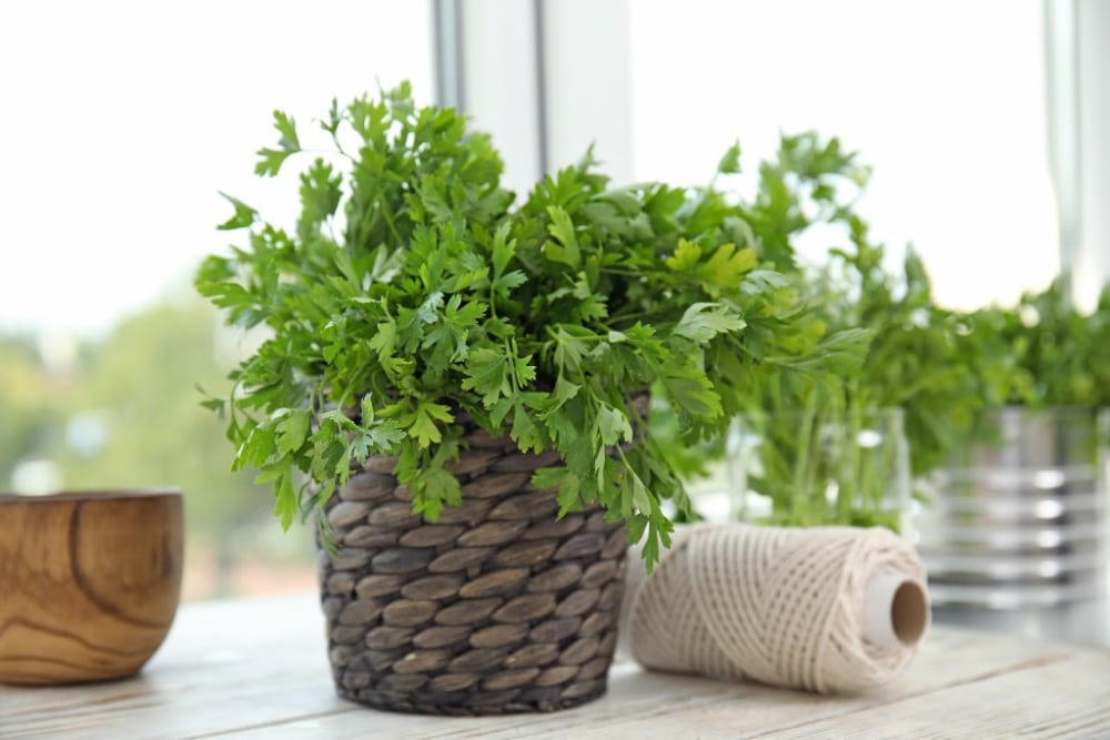 best herbs to grow - parsley