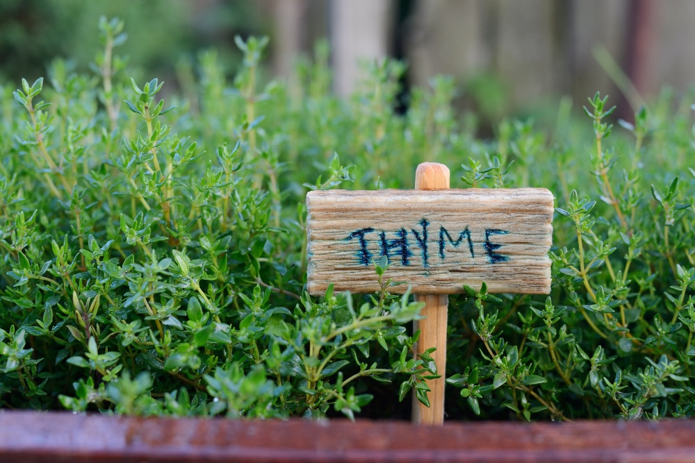 best herbs to grow - thyme